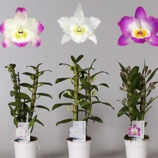 Dendrobium nobile MIX (Hoog Orchids, de)