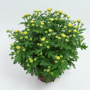 Chrysanthemum RAINBOW LAKE WORTH (Gebr Nederpel Potplanten)