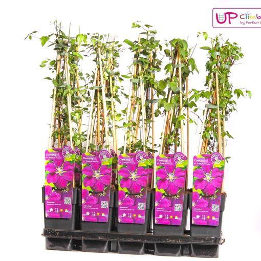 Clematis 'Etoile Violette' (Hoogeveen Plants)
