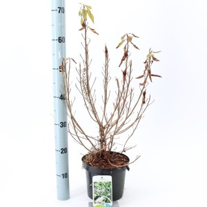Clethra alnifolia 'Hummingbird' (About Plants Zundert BV)