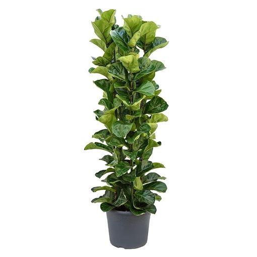 Ficus lyrata 'Bambino' (Nieuwkoop Europe B.V.)