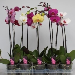 Phalaenopsis MIX (CJ Orchids B.V.)