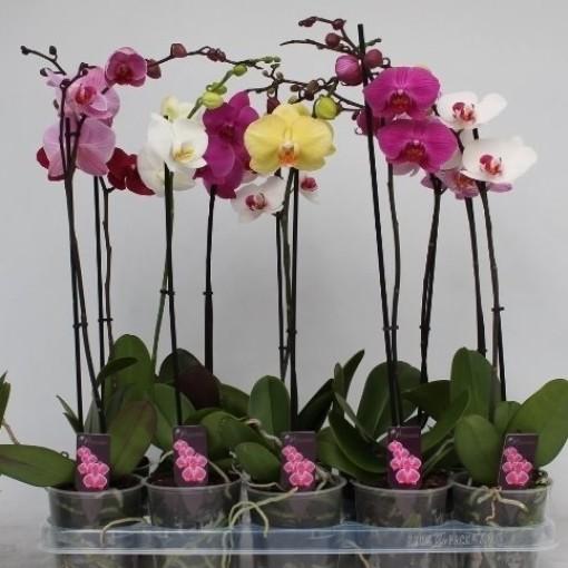 Phalaenopsis MIX (CJ Orchids B.V.)