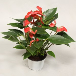 Anthurium 'Flamingo Petit' (Flamingo Plant)