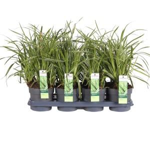 Carex morrowii 'Ice Dance' (Hoogeveen Plants)