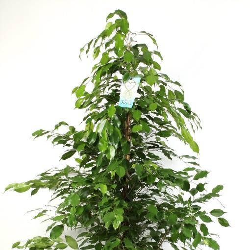 Ficus benjamina 'Exotica' (Schenkel, Kwekerij de)