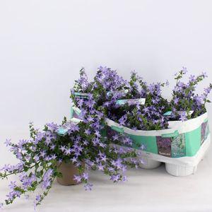 Campanula poscharskyana ADANSA BLUE