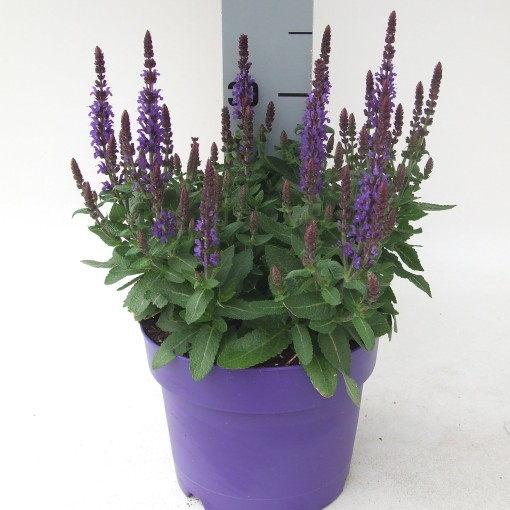 Salvia nemorosa SENSATION DEEP BLUE (Kwekerij Scholte)