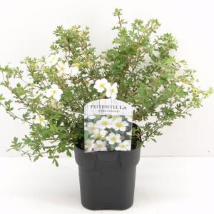 Potentilla fruticosa 'Abbotswood' (Hooftman boomkwekerij)