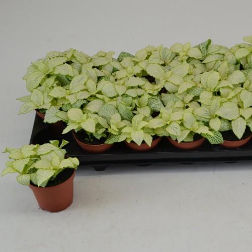 Fittonia MOSAIC LEMON (Schoenmakers Tropische Potcultures)