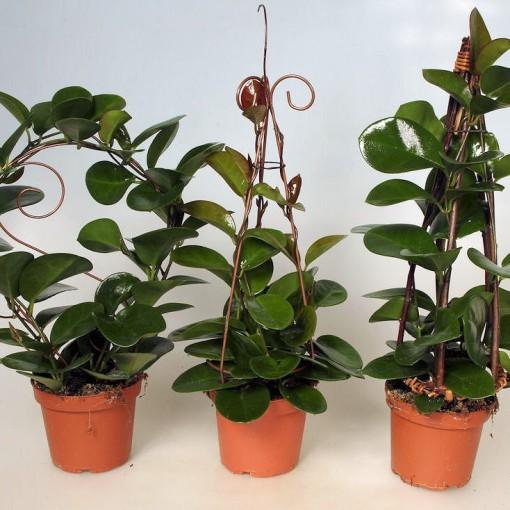 Hoya australis MIX (Gasa DK)