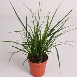 Carex brunnea (Handelskwekerij van der Velden)