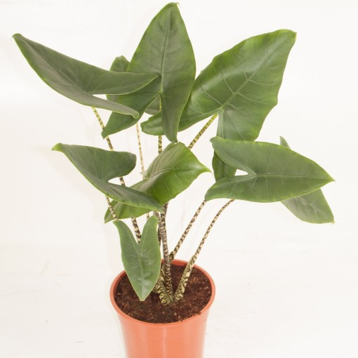 Alocasia zebrina (Ammerlaan, The Green Innovater)