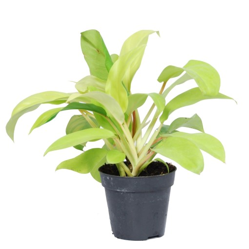 Philodendron 'Malay Gold' (Van der Arend Tropical Plantcenter)