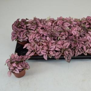 Hypoestes phyllostachya 'Pronto Pink'