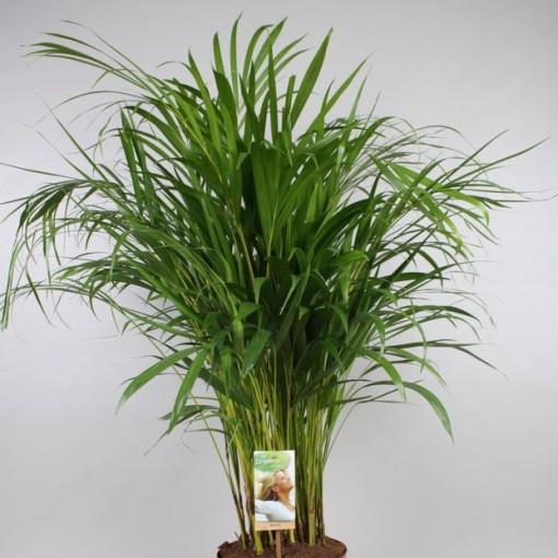 Dypsis lutescens (Vireõ Plant Sales)