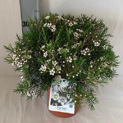 Chamelaucium uncinatum 'Snow Flake' (Flora Toscana)