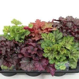 Heuchera CARNIVAL MIX