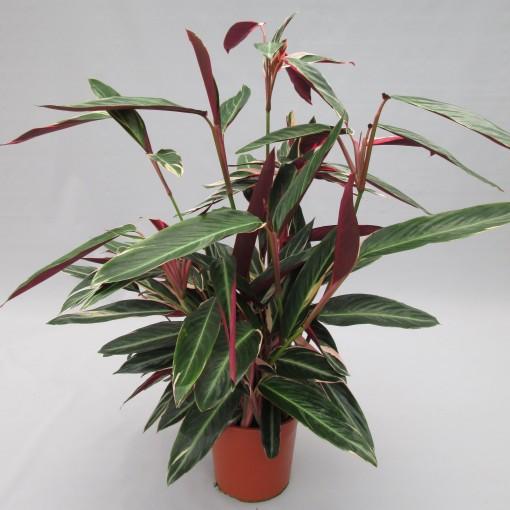 Stromanthe sanguinea 'Triostar' (JM plants)