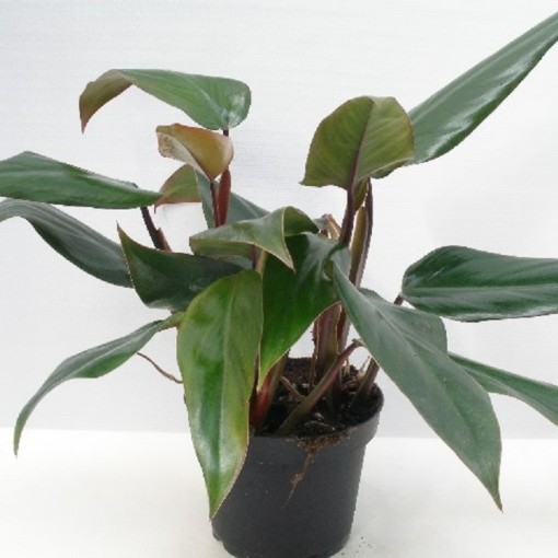 Philodendron 'Ruby' (Gasa DK)