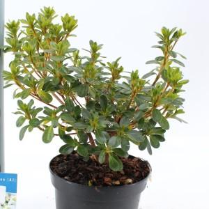 Rhododendron 'Hisako'
