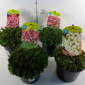 Saxifraga ALPINO MIX