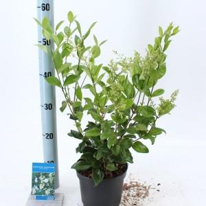 Ligustrum japonicum 'Texanum' (About Plants Zundert BV)