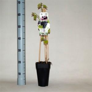 Vitis 'Blauer Burgunder' (BOGREEN Outdoor Plants)