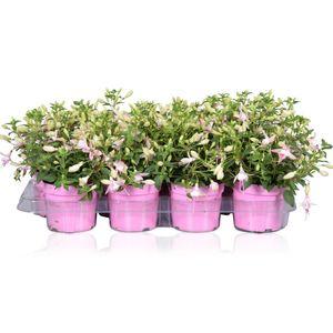 Fuchsia BELLA FUCHSIA SOPHIA (Adrichem Potplanten)