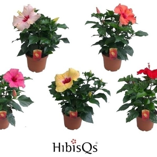 Hibiscus rosa-sinensis MIX (De Wilgenlei b.v.)