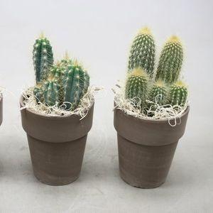 Cacti MIX