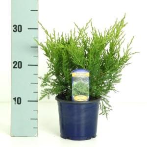 Juniperus x pfitzeriana 'Pfitzeriana Glauca' (Vredebest, Kwekerij )