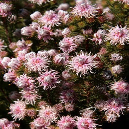 Serruria aemula 'Galaxy' (Flora Toscana)