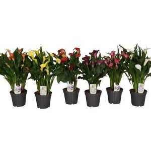 Zantedeschia MIX