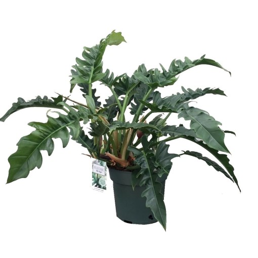 Philodendron 'Rambo' (MDK Plants)