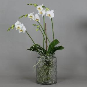 Phalaenopsis ANTHURA DOVER