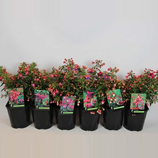 Fuchsia MIX (Rijnbeek Boomkwekerijen B.V.)