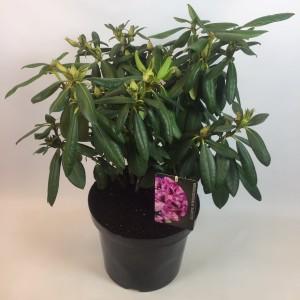 Rhododendron 'Rasputin' (B.D. Rijnbeek Boomkwekerijen B.V.)