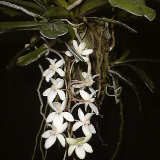 Aerangis mystacidii (Wichmann Orchideen e.K.)