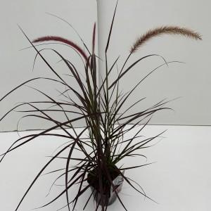 Pennisetum setaceum 'Rubrum' (Cammeraat Potcultuur)