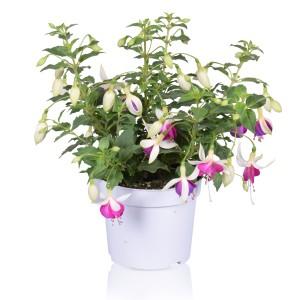 Fuchsia BELLA FUCHSIA NORA