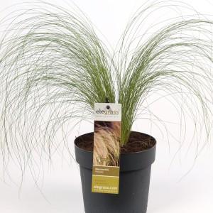 Stipa tenuissima 'Ponytails'