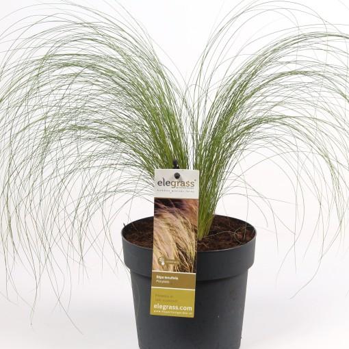 Stipa tenuissima 'Ponytails' (Hoogeveen Plants)