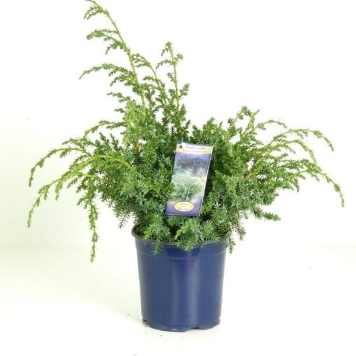 Juniperus chinensis 'Blue Alps' (Vredebest, Kwekerij )