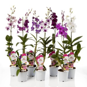 Dendrobium SA-NOOK MIX