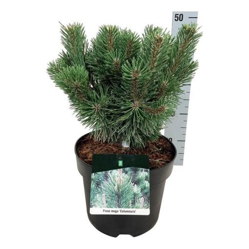 Pinus mugo 'Columbo' (Boomkamp Boomkwekerijen B.V.)
