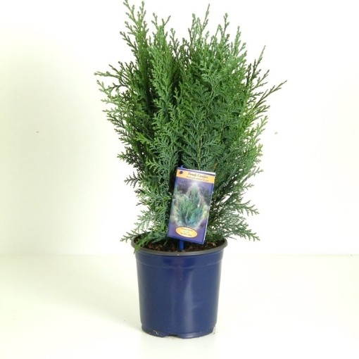 Chamaecyparis lawsoniana 'Pelt's Blue' (Vredebest, Kwekerij )