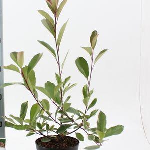 Photinia x fraseri LOUISE (About Plants Zundert BV)