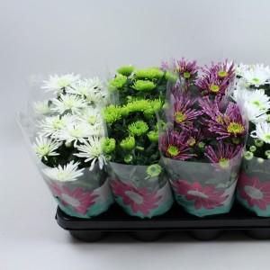 Chrysanthemum MIX (Gebr Nederpel Potplanten)