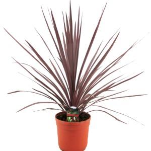 Cordyline australis 'Red Star' (Luiten kwekerij)